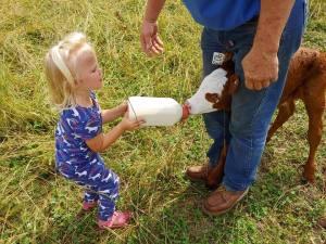 Feeding baby calf