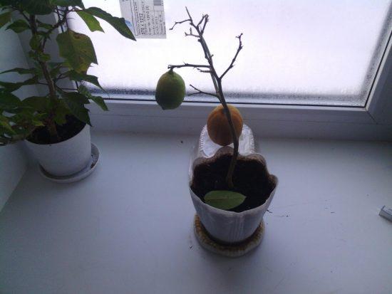 Το φυτό επαναφέρει τα φύλλα