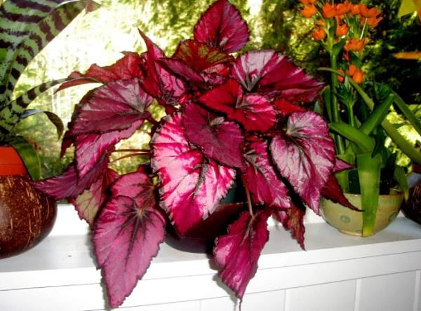 秋海棠rex与红色叶子