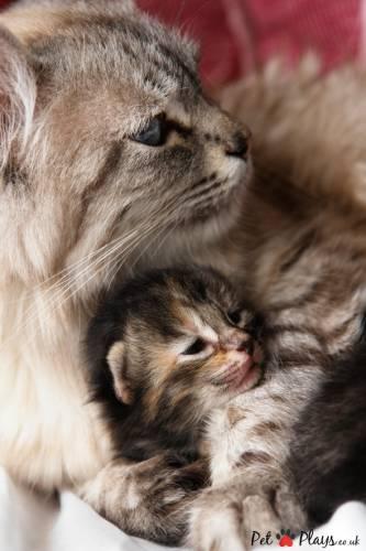 Выкидыш у кошки причины и помощь