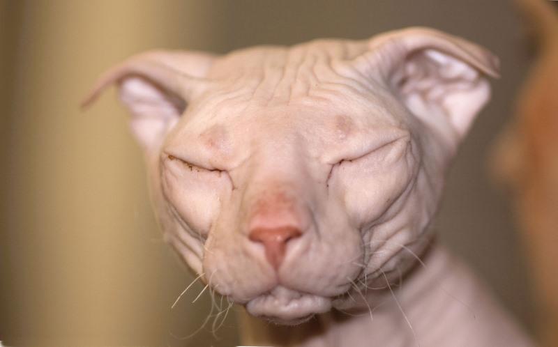 Почему кот трясет головой и чешет уши? Почему кошка прижимает уши: наблюдаем и изучаем поведение питомца Кот пригнул уши