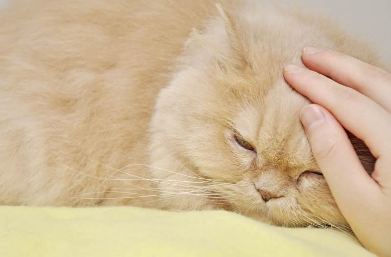 Можно ли стерилизовать кошку во время беременности чем это грозит