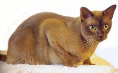 chlpaté nahé mačička