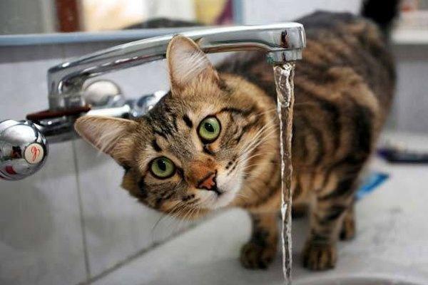 Чем спровоцирована и как лечится анемия у кошек