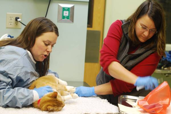 Лимфаденит у кота. Лимфаденит, лимфаденопатия и увеличение лимфатических узлов у кошек