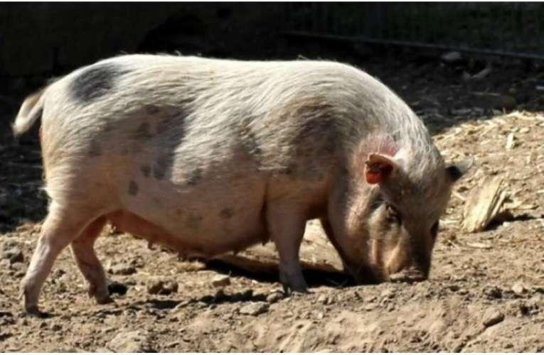 Pesta porcină africană amenință sute de gospodării din Bârlad! S-a confirmat oficial!