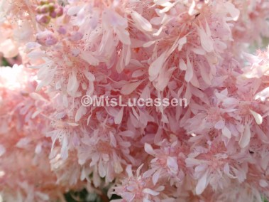 Astilbe Sugarberry 9 jpg