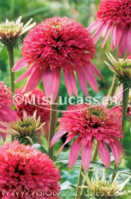 Echinacea Cotton Candy'
