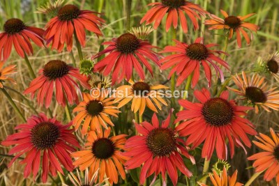 Echinacea Hot Summer®