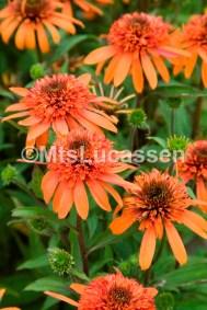 Echinacea Irresistible 2 (3)