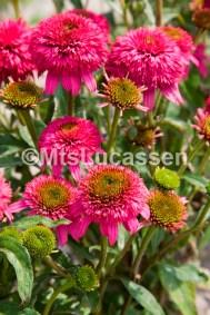 Echinacea Piccolino® 4