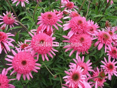 Echinacea Southern Belle 1