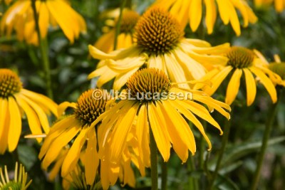Echinacea Summer Breeze 2