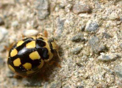 Veertienstippelig lieveheersbeestje (Propylea quatuordecimpunctata)
