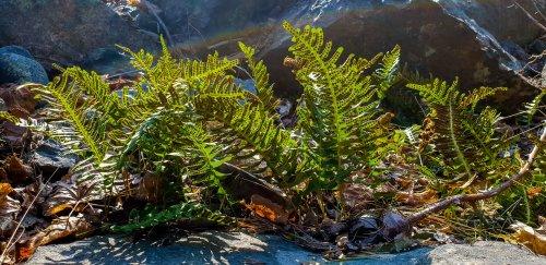 Ormbunkarna är redan stora och gröna på Bageriberget