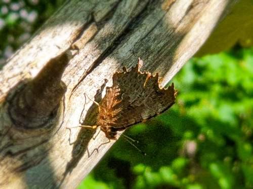 Fjäril i nyckelbiotopen Trolldalen i Nacka
