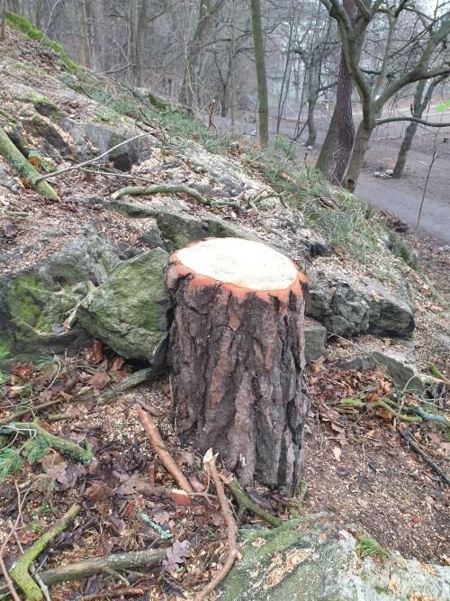 Allt glesare i branten mellan Danvikshem och Vilans skola där mäktiga tallar och torrakor är borta nu