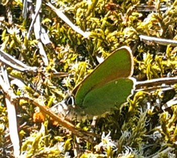 Fjäril grönsnabbvinge i nyckelbiotopen Trolldalen i Nacka