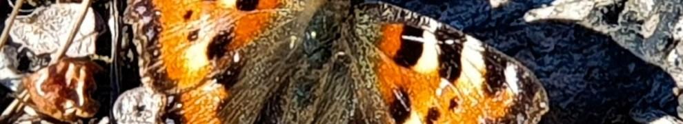 Nässelfjäril i nyckelbiotopen Trolldalen