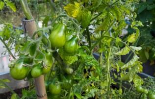Gröna tomater på Magiska trädgården på Kvarnholmen