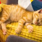 котката Кимчи