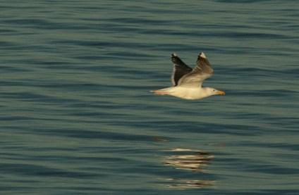 Gaviota, Seagull
