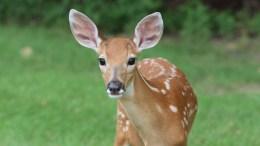 deer population vaccine