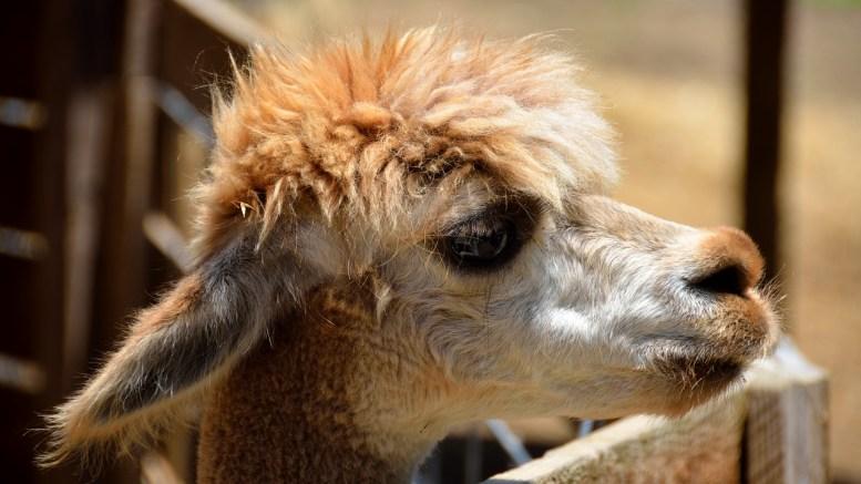 llama blood vaccines