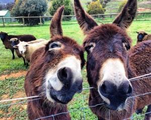 Donkey besties in Swan Valley, Australia Vaycarious.com