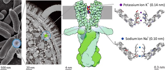 Location of the potassium channel KcsA in the cell membrane of bacteria. The schematic illustration on the right shows the changes in strength and direction of vibrational coupling inside the filter depending on the ion species, as found by the study. @David S. Goodsell & RCSB Protein Data Bank.