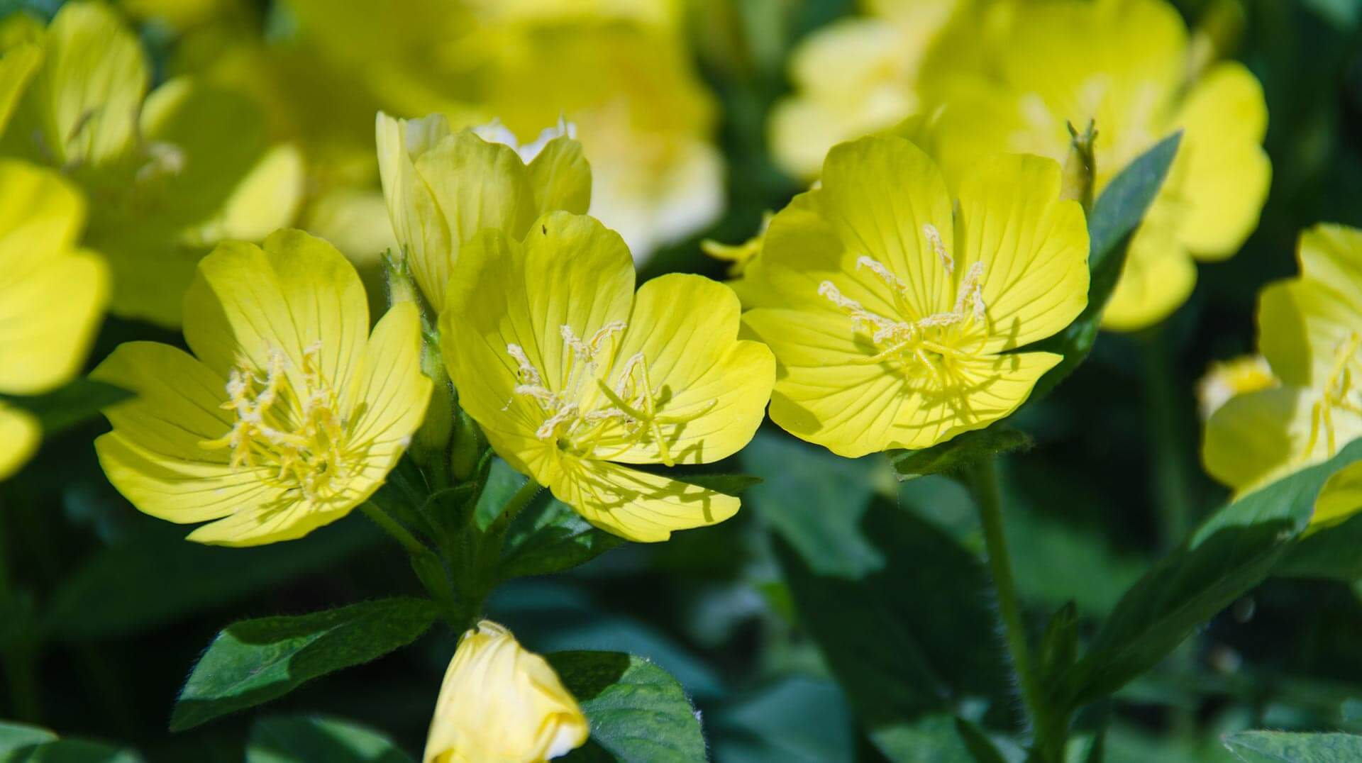 evening primrose oil flowers