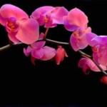 Phong-Lan_Pink_tn