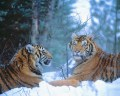 Siberian Tigers Resting in Snow