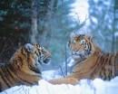 Siberian Tigers Resting in Snow
