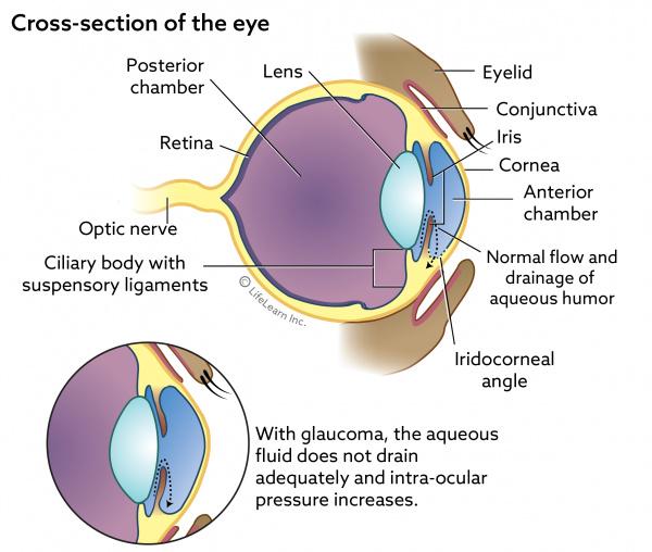 Neuroanatomy Focusing Light On The Retina Aqueous Humor Flow