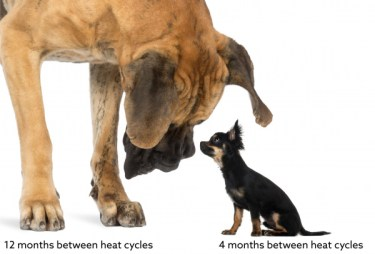 great_dane_chihuahua_heat_cycle-01