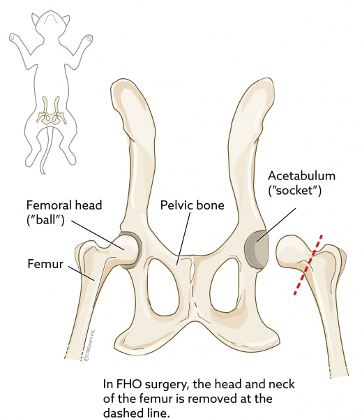 What's a Femoral Head Ostectomy (FHO) and just how can this help your pet