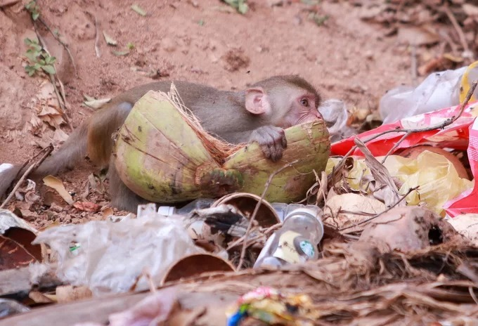 Wild monkeys in central Vietnam scour at trash dumps for food - 2