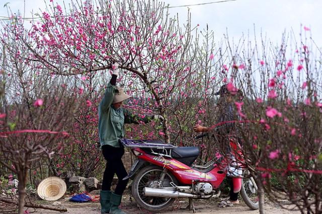 Đào khoe sắc tại vườn đào Nhật Tân. Ảnh: Quang Huy