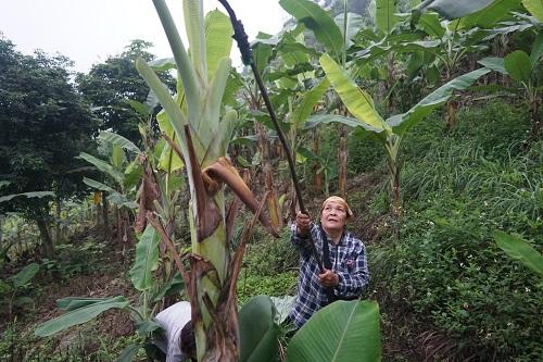 Bà Tuyên 35 năm vào rừng hái lá chuối. Ảnh: Gia Chính