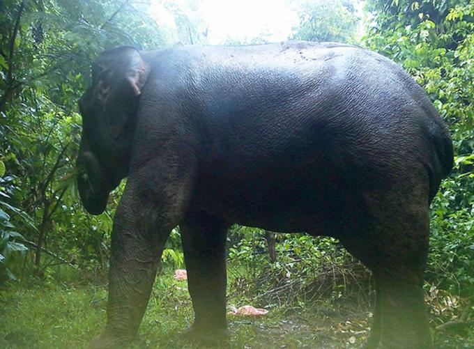 Hình ảnh con voi được bẫy ảnh ghi lại. Ảnh: Khu bảo tồn cung cấp.
