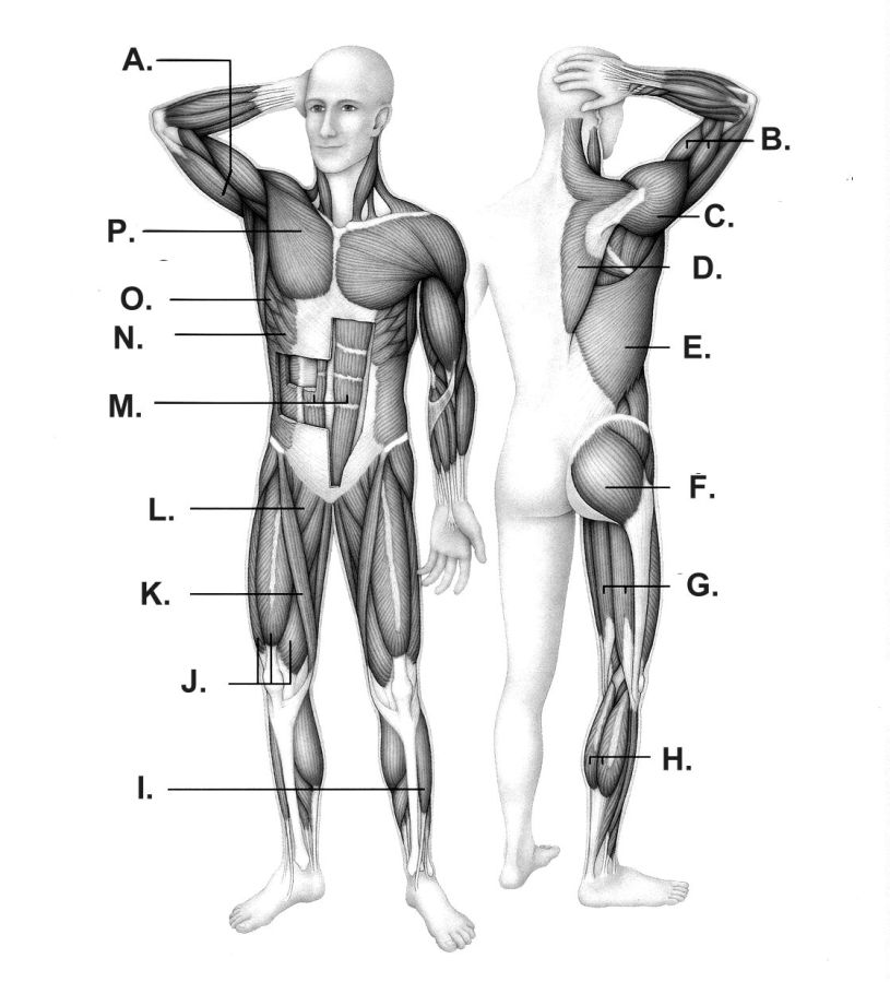 humanmuscles | VCE PE & SPORTS SCIENCE blog