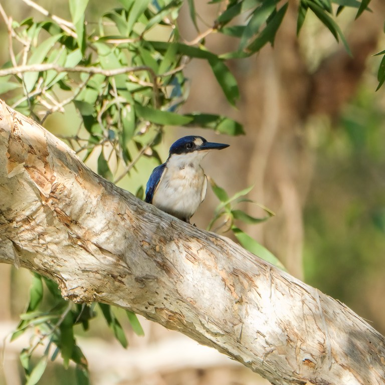 Pic of the Day – Forest kingfisher