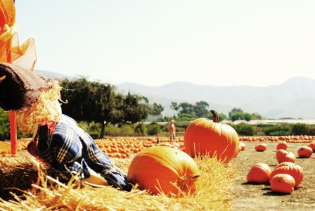 Santa Paula Rotary Club's pumpkin patch is back in 2016, debuting at Limoneira Ranch. Photo courtesy of the Santa Paula Rotary Club