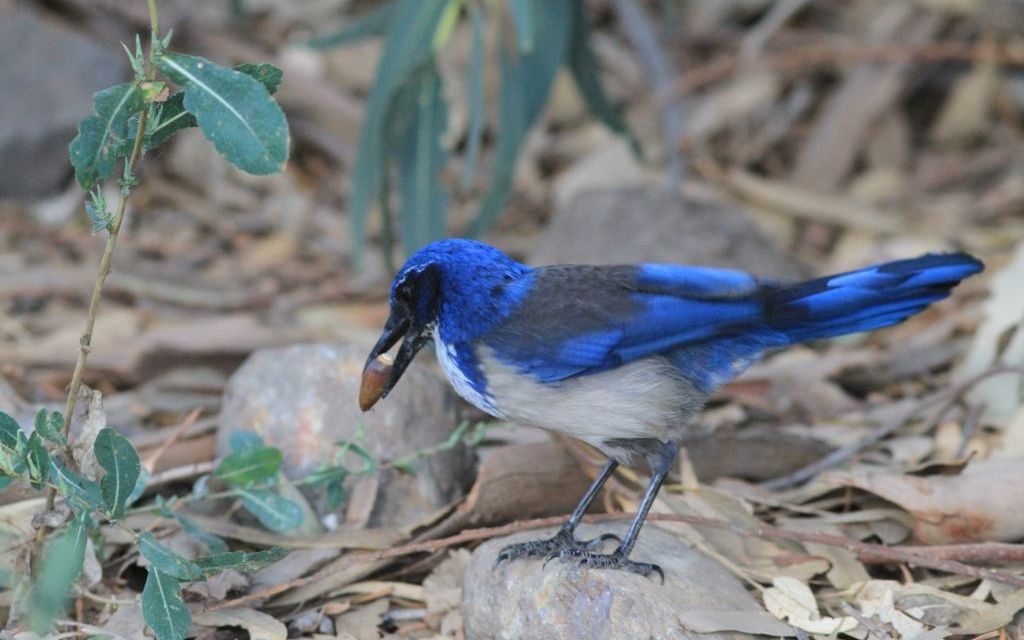 FEATHERED FRIENDS | The evolution and impact of Santa Cruz Island's endemic scrub jay