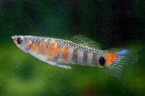 micropoecilia parae red tiger