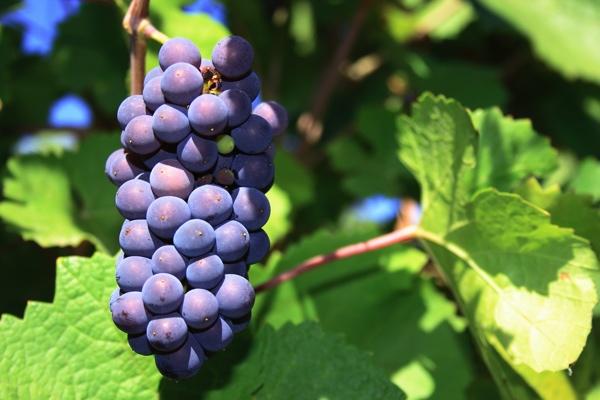 pinot noir variedad de uva borgoña