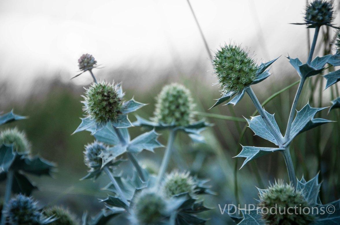 Blauwe zeedistel Eryngium maritimum-2