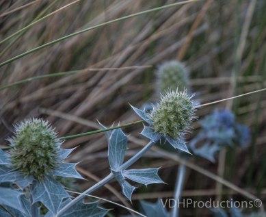 Blauwe zeedistel Eryngium maritimum-3