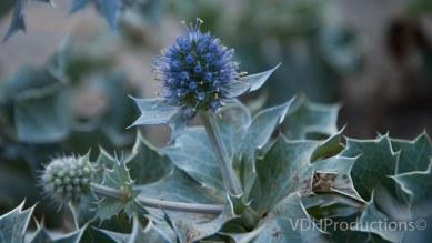 Blauwe zeedistel Eryngium maritimum-6